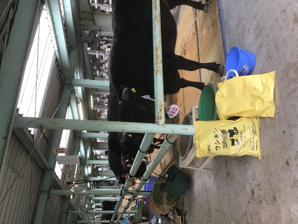 兵庫県畜産共進会の牛1